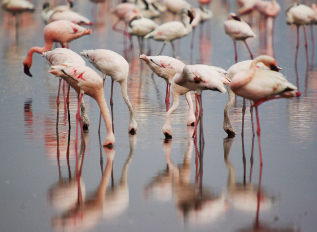 More_Nakuru_Flamingos