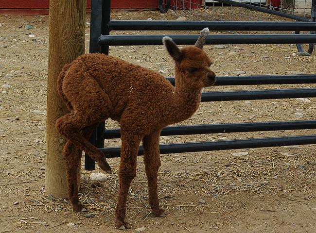 Baby_Alpaca