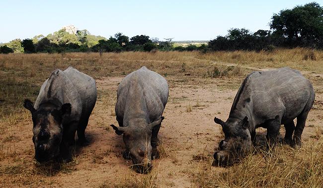 Black_Rhinos
