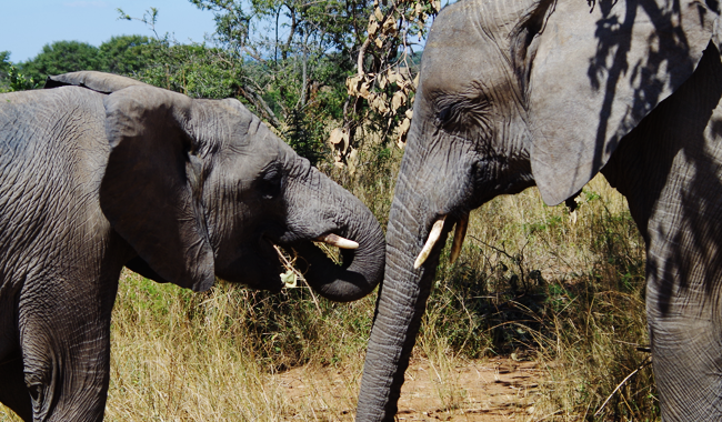 elephant_snog
